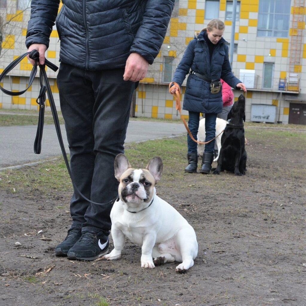 дрессировка щенка французского бульдога
